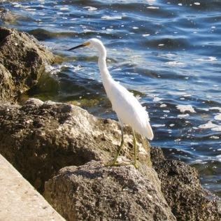 rachelle siegrist white egret