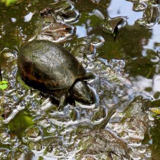striped mud turtle