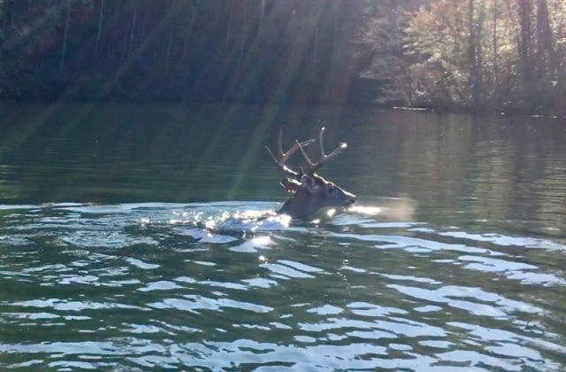white-tailed buck swimming3