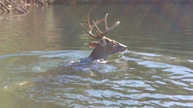 white-tailed buck swimming5