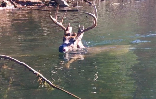 white-tailed buck swimming6