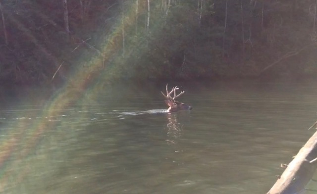 white-tailed buck swimming7