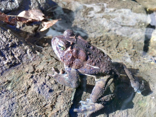 American Toad photo.by wes siegrist2