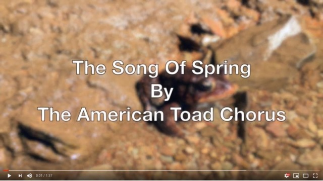 american toad video