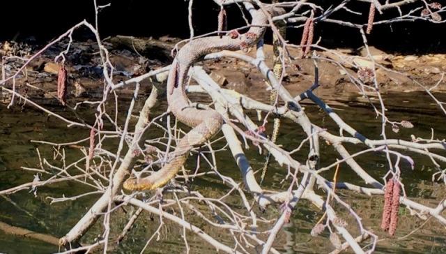 banded watersnake photo