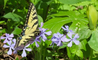 butterflies in the smokies