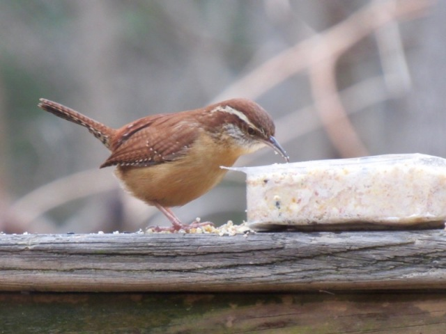 carolina wren photo.2