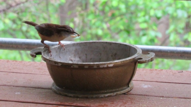 carolina wren photo