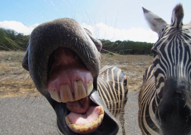 cute zebra photo natural bridge wildlife ranch