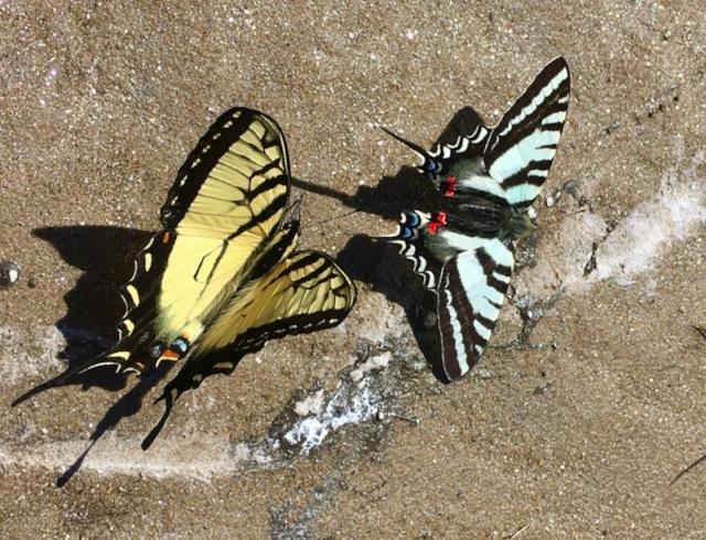 butterflies of the smokies