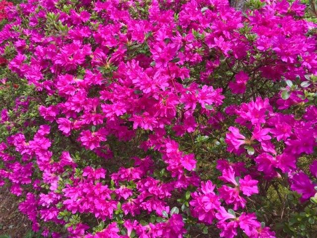azaleas bloming