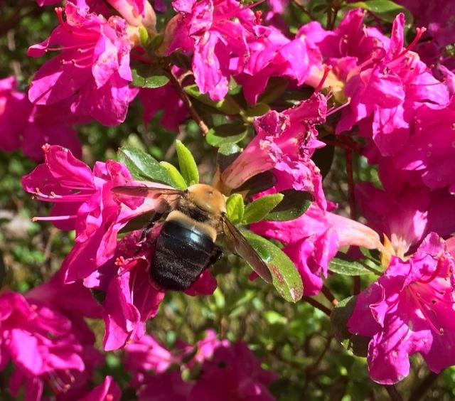 azaleas bloming2