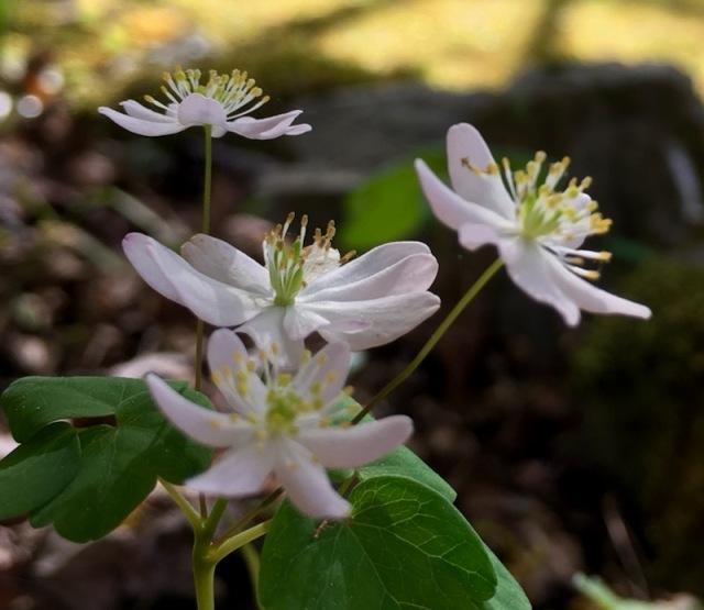 wildflowers of the smokies rue anemone