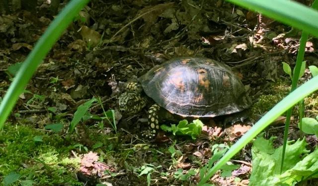 land tarpin turtle