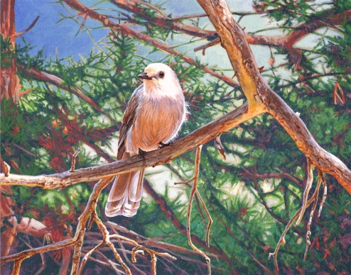 Sunlit Gray Jay painting by wes siegrist