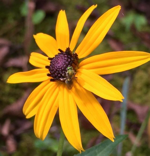 black-eyed susie flower