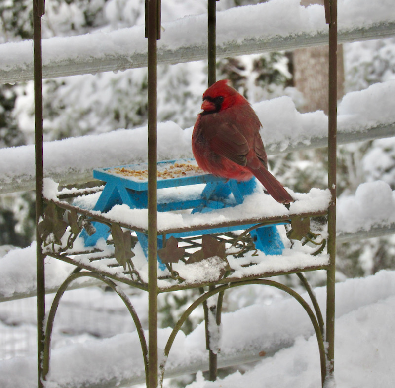cardinal in snow in smoky mountains