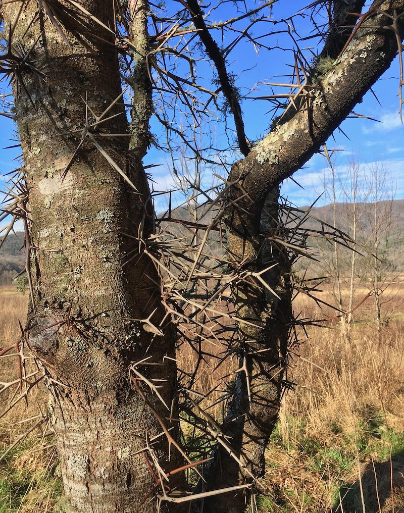 jerusalem thorn tree