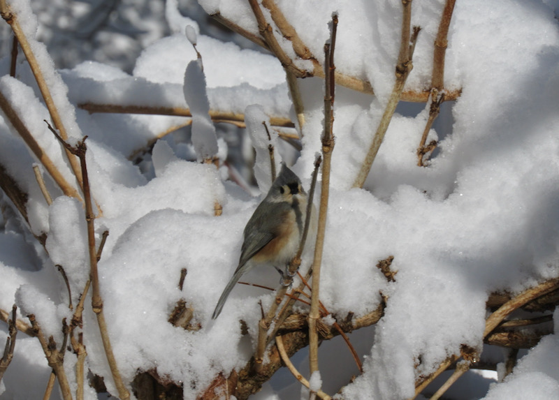 titmouse in snow in smoky mountains