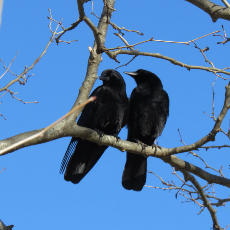 crows in cades cove
