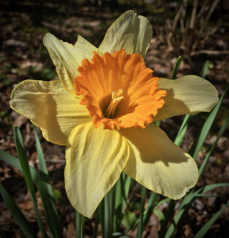 narcissus daffodil photo