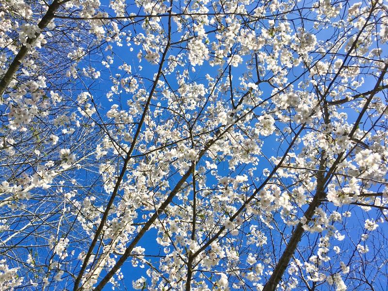 yoshino cherry tree blossoms photo