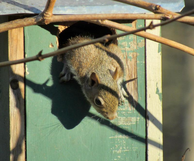 baby squirrel photo