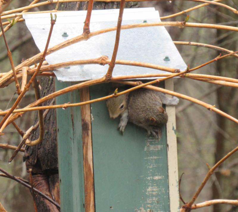 baby squirrel photo4