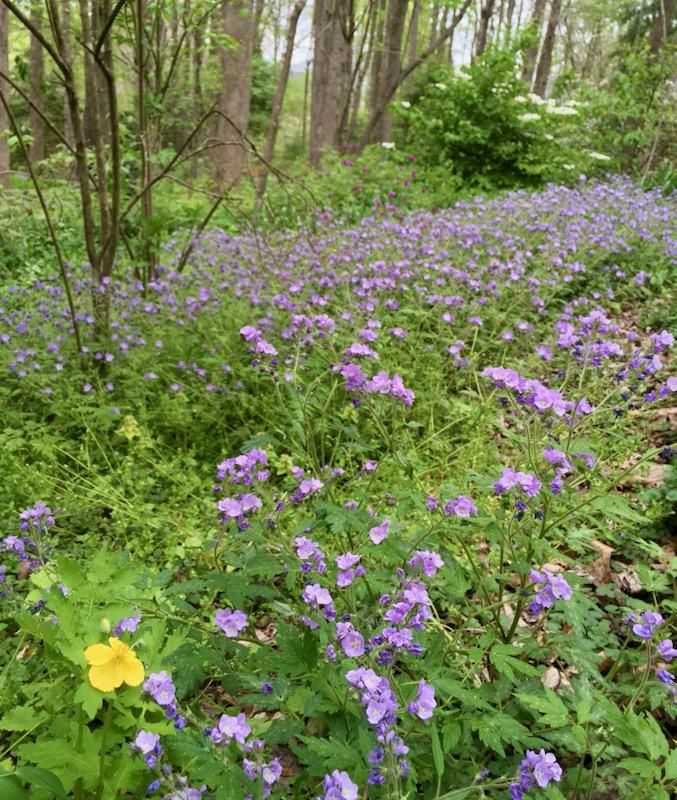 Phacelia wildflower