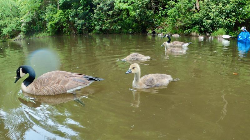 canada geese photo rachelle siegrist