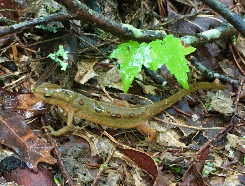 salamander photo by rachelle siegrist