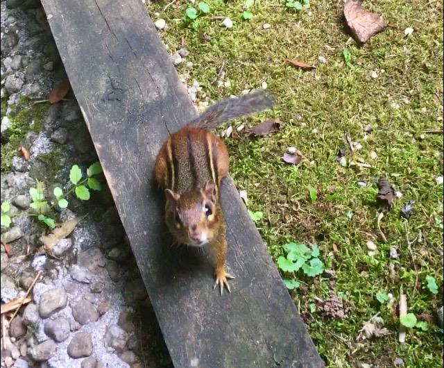 chipmunk photo rachelle siegrist