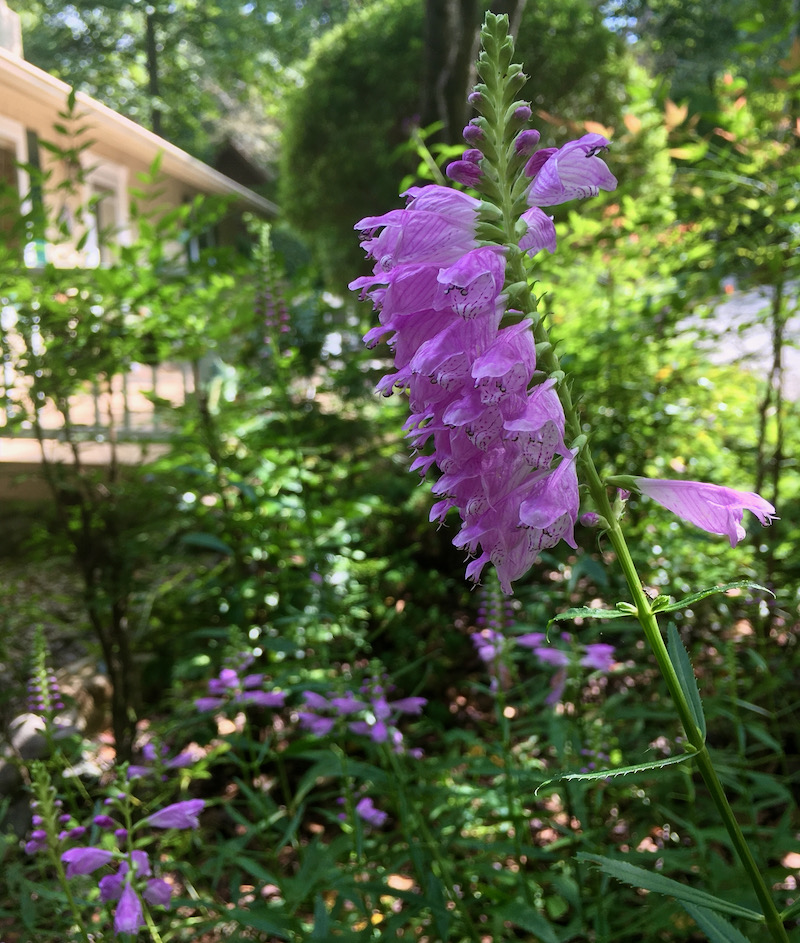 obedient plant blossom
